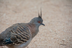 Crested Pigeon at Yardie Homestead nr Exmouth, Western Australia