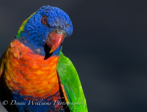 Lorikeet on birdbath 2