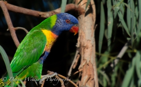 Lorikeet in Tree