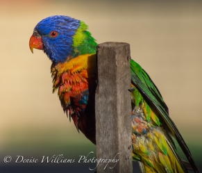Lorikeet after bath