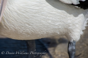Water droplets on Pelican