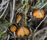 Butterflies in Abundance 2