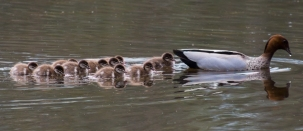 Duckling Season at Canning River Regional Park