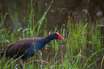 Purple Swamphen - Canning River Regional Park