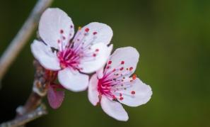 Blossom duo