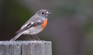 Female Scarlet Robin