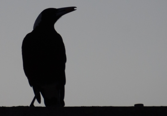Magpie Silhouette