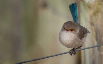 Splendid Fairy Wren - Female