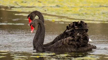 Black Swans - Malbup Bird Hide, nr Busselton