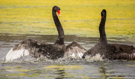 Fighting Black Swans - Malbup Bird Hide, nr Busselton
