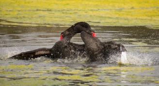 Fighting Black Swans - Malbup Bird Hide nr Busselton, WA
