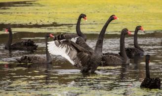 Black Swans - Malbup bird hide, nr Busselton, WA