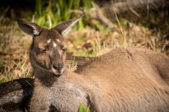 Grey Western kangaroo