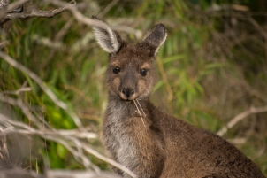 Young Grey Western kangaroo