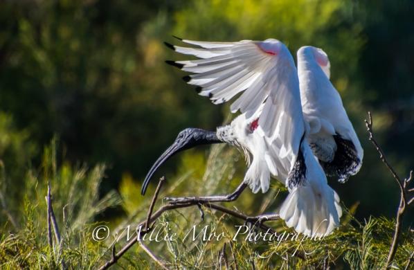 Australian White Ibis - Tomato Lake, Kewdale, Perth