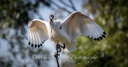 Australian White Ibis, Tomato Lake, Kewdale, Perth WA