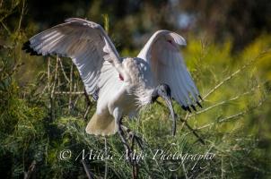 Australian White Ibis, Tomato Lake, Kewdale, Perth