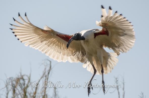 Australian White Ibis, Tomato Lake, Kewdale WA