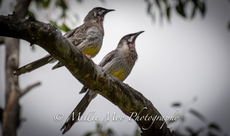 Wattle Birds at Sir Frederick Samson Park, Fremantle