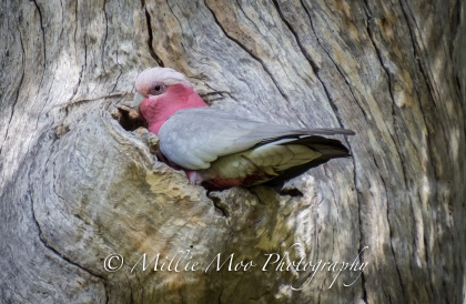 Galah at Sir Frederick Samson Park, Fremantle