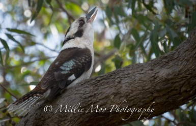 Kookaburrah in full song at Sir Frederick Samson Park, Fremantle