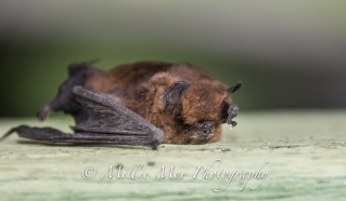 We found this poor bat dead and a little bit smelly in the bathroom sink of our self catering cottage!